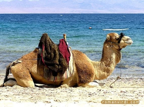 Private excursion: Camel Safari with Optional Bedouin Dinner from Sharm El Sheikh